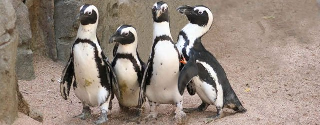 Penguins at the Minnesota Zoo