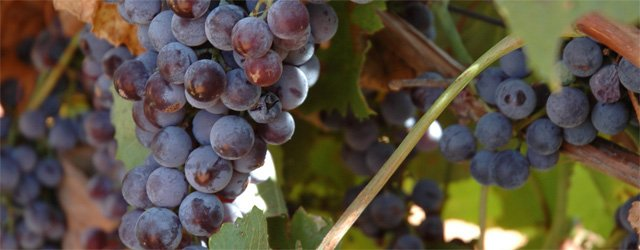Is there a local wine harvest celebration?