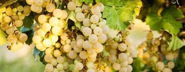 A Favorite Grape