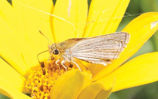 MN Butterfly