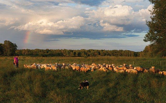 Janet McNally with her flock at Tamarack Lamb & Wool