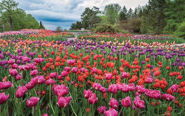 Tulips at the Minnesota Landscape Arboretum in Chanhassen