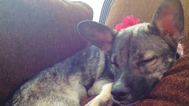 Ella, chihuahua/Beagle Age: 3
