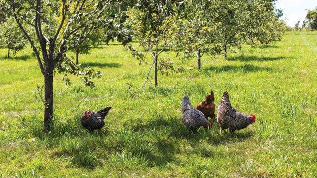 chickens-from-Wozupi-Farm.jpg