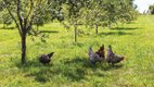 chickens-from-Wozupi-Farm.jpg