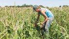 Native-corn-at-Wozupi-Farm.jpg
