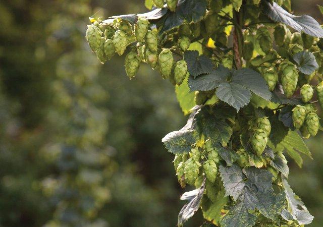 Hops Vines