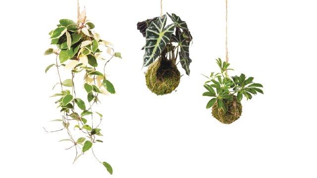 Kokedama or Japanese moss balls