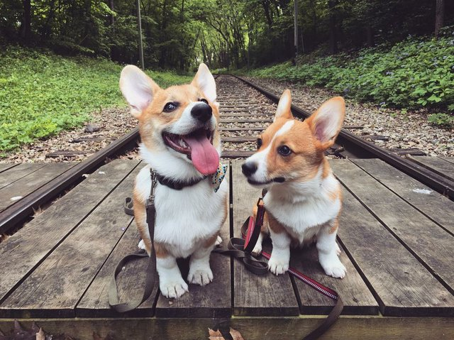 Arthur and Amelia of instagram account @artthecorgi