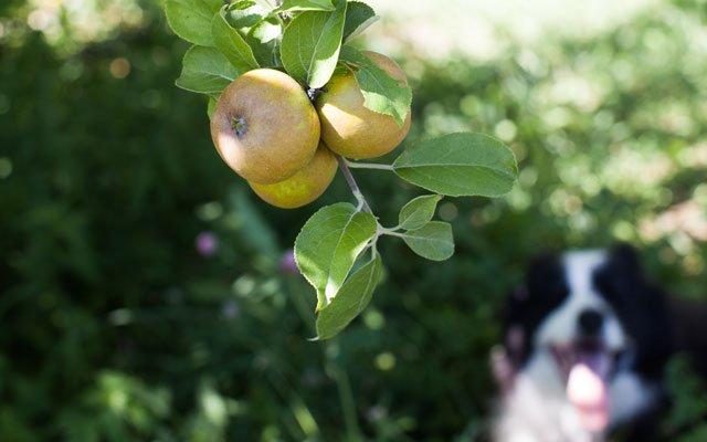Sweetland Orchard and dog