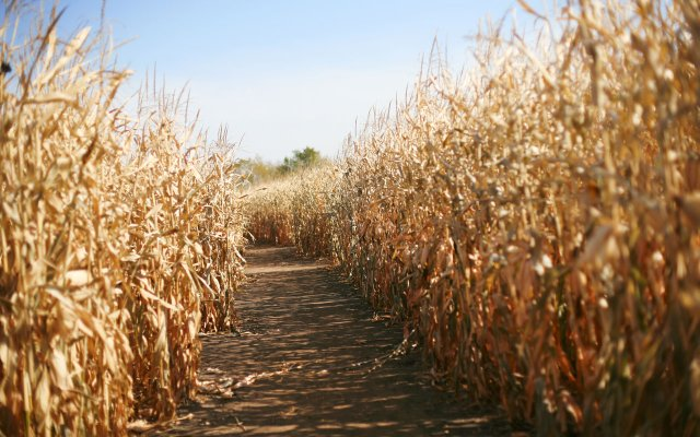 Corn Maze - shutterstock