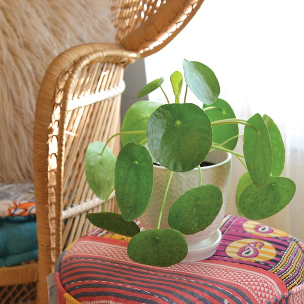 Pilea plant sitting on a chair.