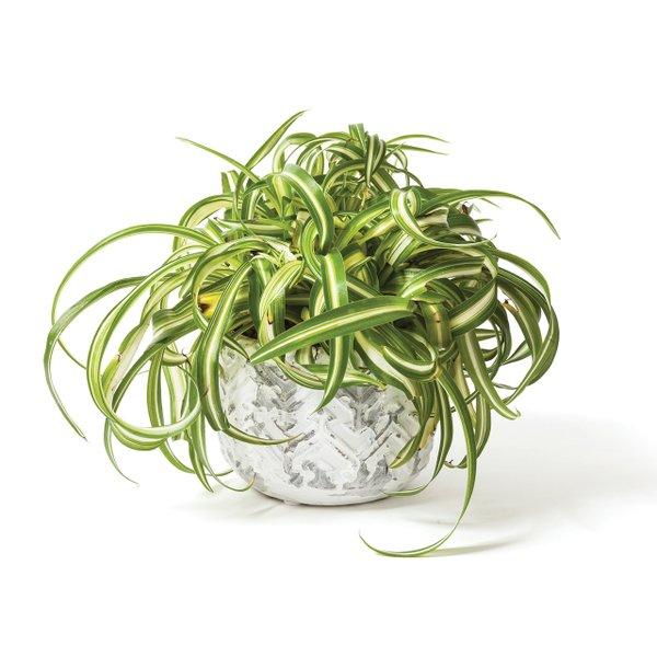 Spider plant.