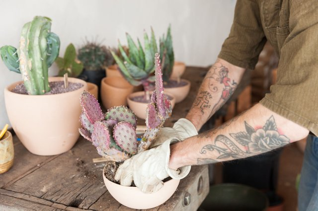 Madre Cacti planting