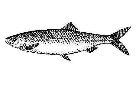 Lake Herring Illustration