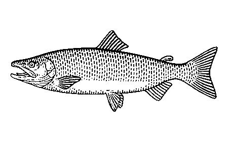Salmon illustration