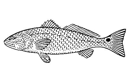 Red Drum Redfish illustration
