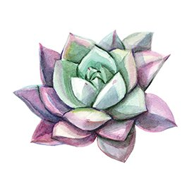 Succulent illustration