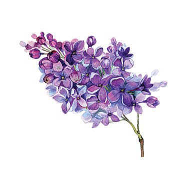 Lilac Vines illustration