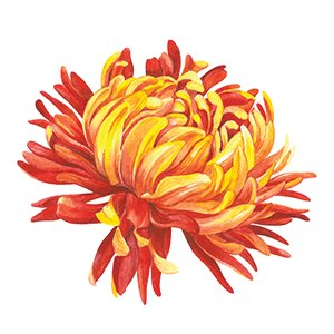 Chrysanthemums illustration