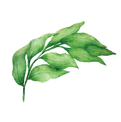 Italian ruscus illustration