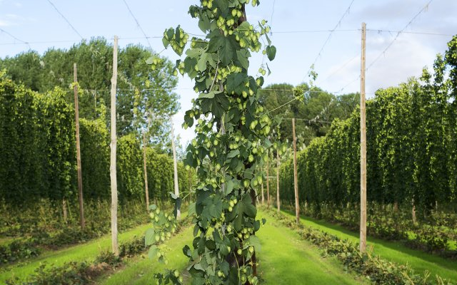 Tall hops vine