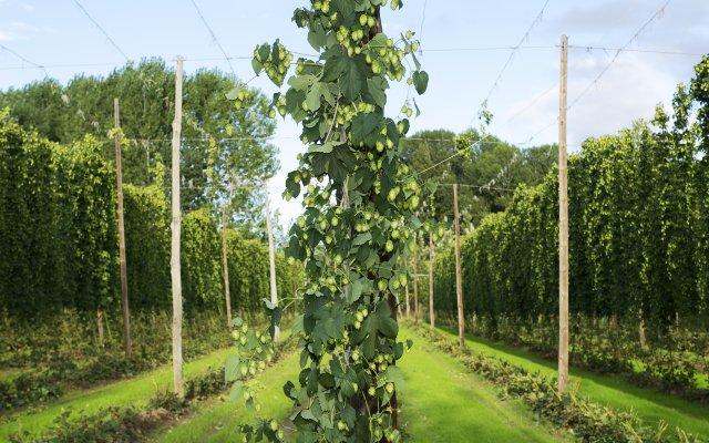 Tall hops vine