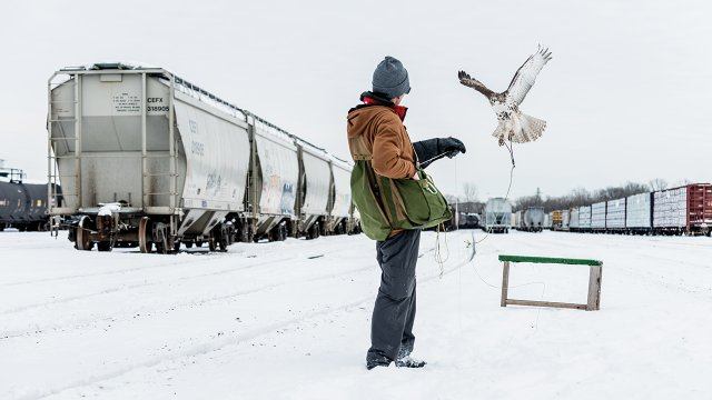 Minnesota Falconry