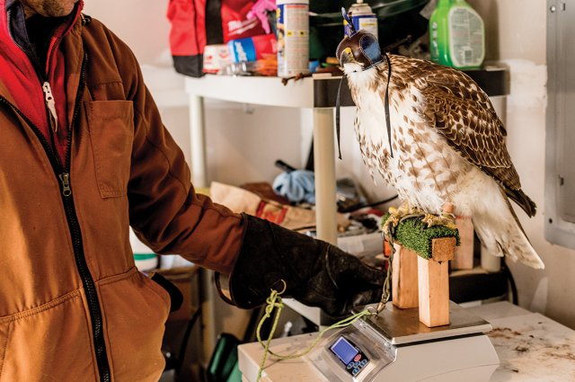 Hawk Sitting for Weigh-in