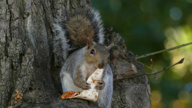 squirrel eating pizza slice in tree