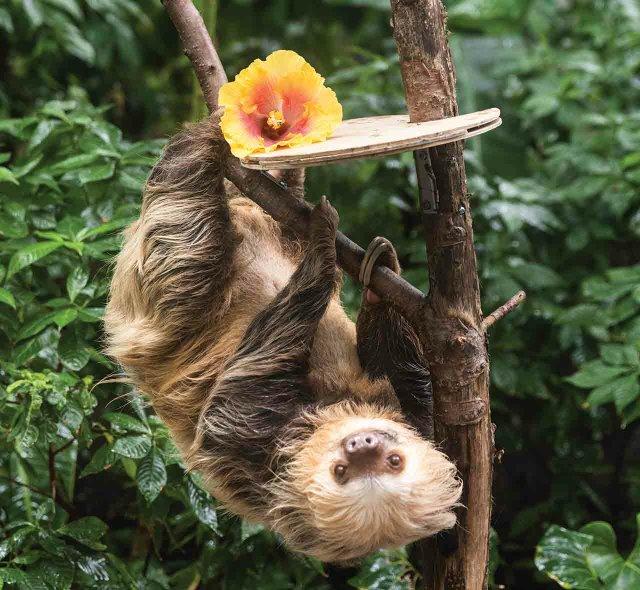 Chloe the Sloth at the Como Zoo