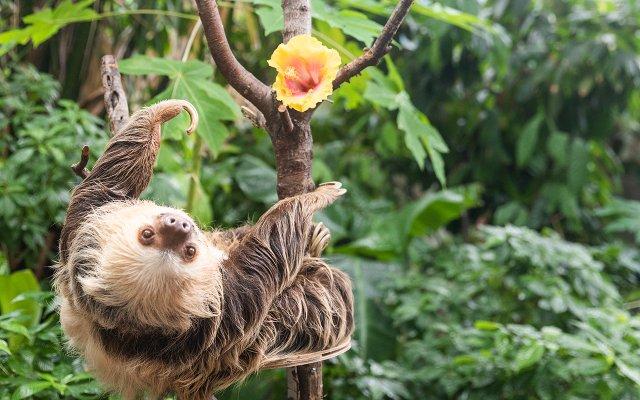 Chloe the Sloth at Como Zoo