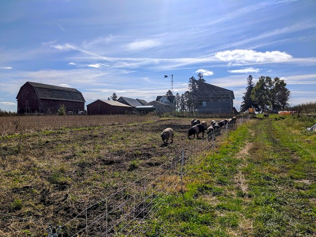the farm with pigs in the pasture