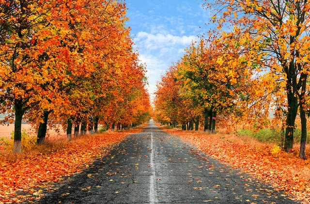 long straight road boarded by orange fall trees