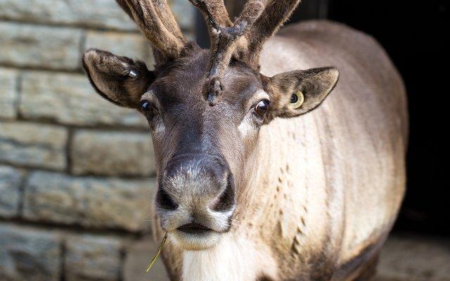 reindeer with white beard