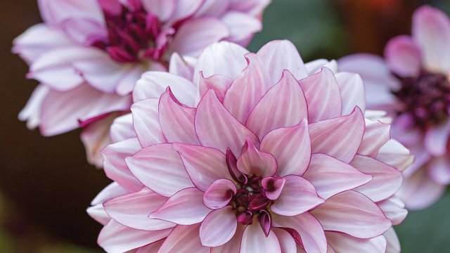 Pops of dahlia blooms