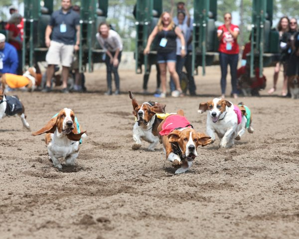 Basset Hound Races at Canterbury Park