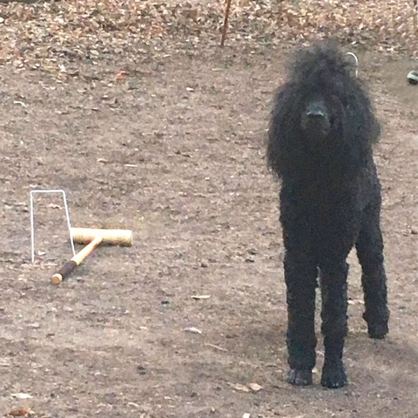 Black dog and Croquet mallet
