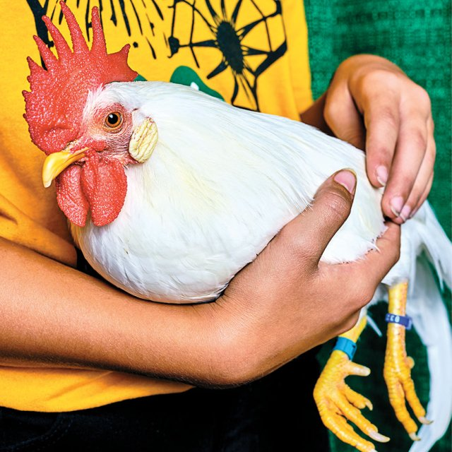 unnamed bantam chicken