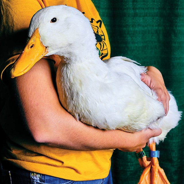 unnamed duck