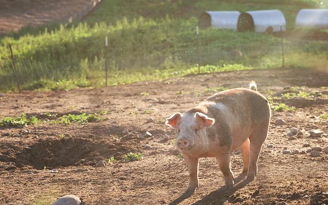Y-ker Acres Pig