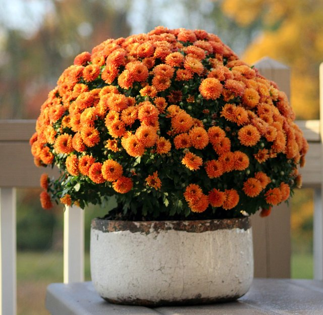 Mums in Pot – Ms. B September