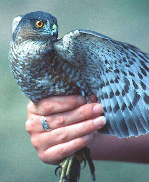 A Hawk at Hawk Ridge in Duluth