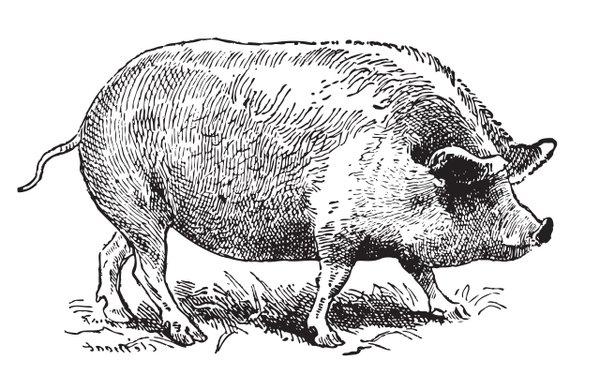 Illustration of a big pig