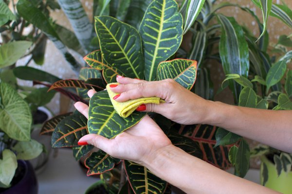 Wiping Dust Off Plant Leaves