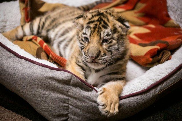 Dash, Tiger Cub