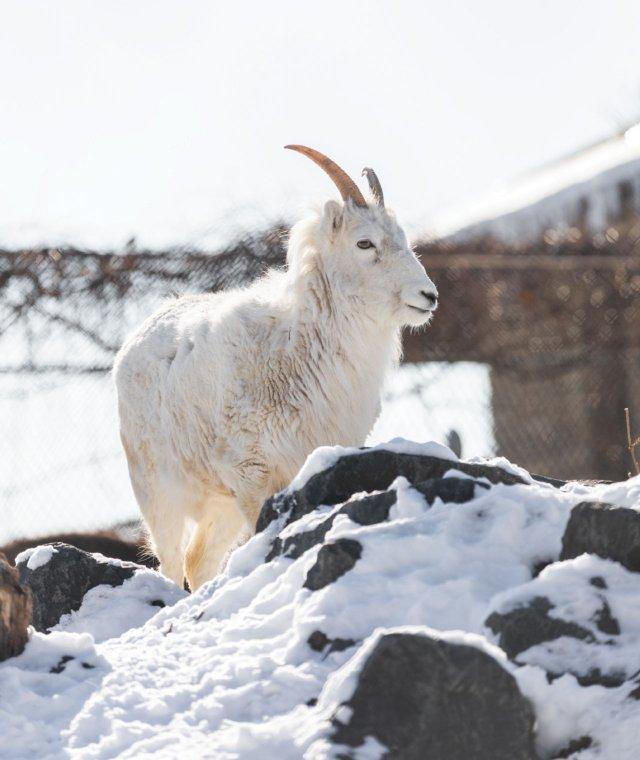Dall's sheep in Zoo