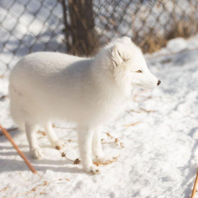 arctic fox in zoo