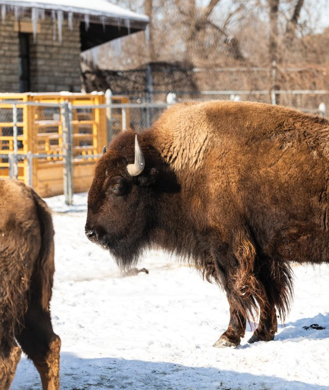 bison in zoo