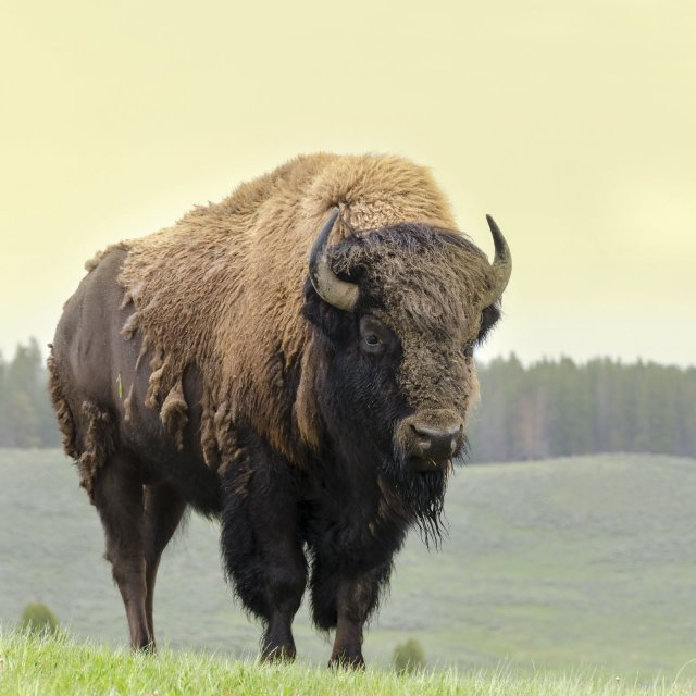Bison on the plain